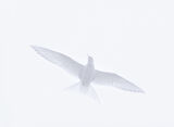Arctic, tern, Noup head, Orkney, Scotland, white, wings, photo