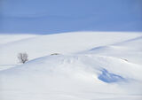 Art Of Snow 9, Anderdalen Nat Park, Senja, Norway, blue, mountainous, plateau, snow, birch, trees, purity, light, bumps  photo