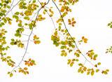 Autumnal Antennae, Glencoe, Highlands, Scotland, moth, antennae, sunlight, Beech, leaves, translucent, plane, luminosity photo