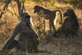 Baboon Troup, Chobe, Botswana, Africa, dirt, road, wild, evening, light, undergrowth, camel thorn, back lighting, sun  photo