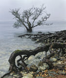 Back To My Roots, Loch Maree, Torridon, Scotland, raining, marooned, tree, roots, vicious, deluge    photo
