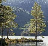 Backlit Pines, Loch An Eilein, Cairngorm, Scotland, pine, trees, sunshine, winter, tracery, shimmer, light, castle, isla photo