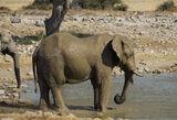 Bath Time, Etosha, Namibia, Africa, elephants, mud, coated, water, waterhole, hide, protection, sun, midday photo