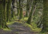 Beech Cathedral, Glencoe, Highlands, Scotland, winter, pretty, mossy, beech, wood, river, trunks, limbs, corridor, pilla photo