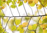 Beech Ladder 3, Glencoe, Highlands, Scotland, highlights, leaf, leaves, twigs, translucent, luminosity, ladder, skeletal photo