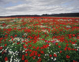 blazing, poppies, Kilconquhar, Fife, Scotland, field, farmland, colour, flowers photo