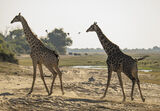 Chobe Giraffe, Chobe, Botswana, Africa, giraffe, elegant, favourites, cantering, gigantic, strides, oxpecker, elephant,  photo