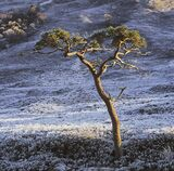 Cold Comfort, Kinlochewe, Torridon, Scotland, Scots pine, native, trees, mountains, winter, cold, frost, shapely, blue,  photo
