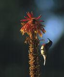 Collared Sunbird, Bvumba, Zimbabwe, Africa, fabulous, irridescent, birds, feeding, tubular, nectar, flowers, red, Aloes  photo
