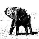 Confrontation Etching, Chobe, Botswana, Africa, huge, bull elephant, trumpeting, mock charge, stylised, striking photo