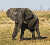 Confrontation, Elephant Sands, Botswana, Africa, magical, evening, drive, wildlife, elephants, shaking, bellowing, size photo