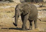 Cooling Off Period, Etosha, Namibia, Africa, elephants, impressive, bigger, bull, coated, sticky, reflective, mud  photo