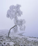 Crooked Birch, Loch A Chroisg, Achnasheen, Scotland, deep, frozen, crooked, tree, birch, loch, quiet, stillness, eerie,  photo