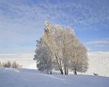 Dava Birch Copse, Dava Moor, Moray, Scotland, gold, frost, snow, pristine, glistening, birch, sunlight, dappled, cloud   photo