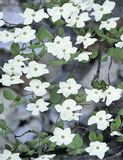 Dogwood Merced, Yosemite, California, USA, Spring, melt, Pacific, dogwood, flowers, milky, white, display, clusters  photo