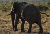 Elephant Bull Chobe, Chobe, Botswana, Africa, huge, beautiful, elephant, glisten, light, hide, wet, squirting, water photo