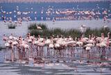 Flamingo Flurry, Arusha Lake, Kenya, Africa, pink, flamingos, scarlet, legs, reflection, pools, hazy, shimmering, sand  photo