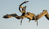 Goldeneye, Chobe, Botswana, Africa, big five, killing, predator, leopard, fear, prostrate, branch, camel thorn tree,  photo