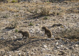 Ground Squirrel Burrow, Etosha, Namibia, Africa, squirrels, tag, game, burrow, road, prey, play  photo