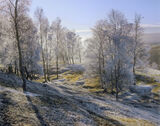 Hoar Frost Dava, Dava Moor, Moray, Scotland, birch, copse, wispy, branches, twigs, filligree, freezing, crystalline, fro photo