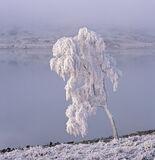 Ice Fagin, Loch A Chroisg, Achnasheen, Scotland, birch, tree, dense, freezing, mist, old man, head, bearded, white, Fagi photo