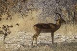Impala Buck, Etosha, Namibia, Africa, impala, buck, harem, acacia, trees, leaves, dried   photo