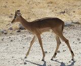 Impala Princess, Etosha, Namibia, Africa, elegant, young, impala, female, immaculate, composure, dainty, slender, legs photo