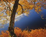 Inverpolly Gold, Loch Cul Dromannan, Inverpolly, Scotland, birch, trees, golds, oranges, reds, fiery, blue, clear, sunli photo