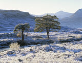 Jack Frost Torridon, Torridon, Highlands, Scotland, frost, branch, twig grass, icy, backlit, sunlight, scots pine, canop photo