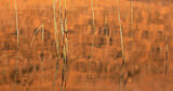 Lava Reeds, Loch Assynt, Sutherland, Scotland, pool, stasis, sunlit, hill, reflected, orange, sunset, meniscus, reeds, s photo