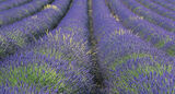 Lavender Pipes, Mezel Plateau, Provence, France, velvet, blue, lavender, oat, grass, spray, green, pattern, perspective photo