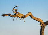 Leopard Tree, Chobe, Botswana, Africa, big five, killing, predators, leopard, camel thorn tree, legs, awake, fear photo
