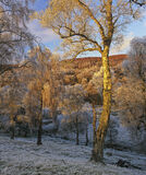 Lettoch Winter Gold, Lettoch, Speyside, Scotland, birch, trees, burnished, gold, winter, sunset, frosty, blue, cold photo