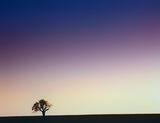 lonesome, oak, Valensole, Provence, France, shapely, hill, wheat, field, photo