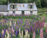 Lupin Dereliction, Aviemore, Cairngorm, Scotland, tin, roofed, lupins, coloured, garden, blaze, demolished, house photo
