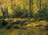 Luscious, Glen Affric, Highlands, Scotland, shady, woodland, birch, trees, sunlight, glade, magical, leaves, theatre photo