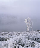 Old Man Tree, Loch a Chroisg, Achnasheen, Scotland, savage, white, frost, bitter, twig, branch, bearded, face, outline,  photo
