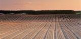 Plough lines Roseisle, Roseisle, Moray, Scotland, low, raking, light, apricot, sunlight, winter, village, lines, plough photo