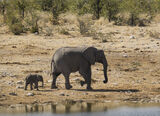 Precision Marching, Etosha, Namibia, Africa, infant, baby, mimic, gait, marched, waterhole, perimeter, calf, run, eleph photo