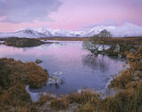 Rannoch Rouge, Rannoch Moor, Glencoe, Scotland, raspberry, pink, snow, peaks, Black Mount, tree, grasses, red, frosted,  photo