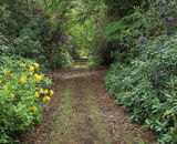 Rhodedendron Walk, Blairs Loch, Forres, Scotland, rhodedendron, flowers, bloom, summer, green, life, woods, path photo
