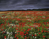 Say It With Flowers, Kilconquhar, Fife, Scotland, poppies, field, agriculture, rarity, unusual, moodiest, skies, intensi photo