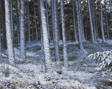 Snow Dusted Pines, Dava Moor, Moray, Scotland, plastered, snow, sunlight, periphery, woodland, grove, palette, muted, bl photo