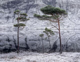 Spartan Pines, Loch a Chroisg, Achnasheen, Scotland, family, straggly, pines, freezing, frosted, cold, Scots pine photo