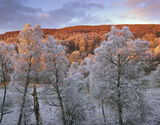 Spey Birch Copse, Lettoch, Spey Valley, Scotland, tree, silver birch, birch, delicate, tracery, hoar, frost, freezing photo