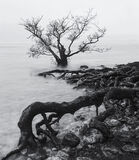 Stuff of Nightmares, Loch Maree, Torridon, Scotland, creeping, wet, roots, submerged, scots pine, winter, squall, rain photo