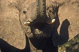 Thick Skinned, Hwange, Zimbabwe, Africa, bull, elephant, ears, charging, flaps, trumpets, foolish photo