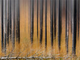 Tiger Camouflage, Torridon, Highlands, Scotland, autumn, orange, deer grass, tapestry, scorched, pines, pattern, flank  photo