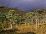 Torridon Pine Sunlight, Torridon, Highlands, Scotland, fleeting, transient light, brief, illumination, sunlit, scots pin photo