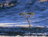 Tortured Pine, Torridon, Highlands, Scotland, scots pine, trees, old, hard, severe, frost, blue, shadows, sunlight, colo photo